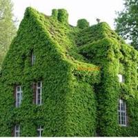 Карликовое дерево Unbranded 2 Boston Ivy seed