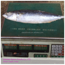 Frozen Pacific Mackerel Whole Round Low Price A Grade Quality Scomber Japonicus