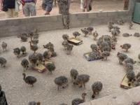 Healthy Ostrich chicks and 100% fertile eggs ( www.birdsbreed.webs.com )