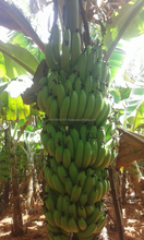 Cultivation Yellow Cavendish Banana
