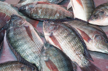 Feed Probiotic to Prevent Bacterial and Viral Infection in Aquaculture farming