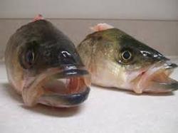 FROZEN HEAD COD, ATLANTIC (Gadus morhua) SEA FOOD FISH