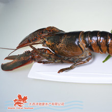 Live Canadian Lobsters (Homarus americanus) 6lb Plus Seafood