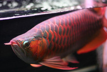 Chilli Red Arowana Fish Available