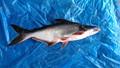 แช่แข็งปลาpangasius/ปลาดุกที่มีคุณภาพพรีเมี่ยม