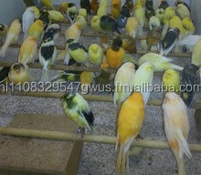 Live Canary Birds For Sale