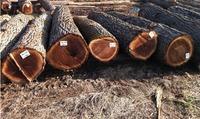 high grade walnut logs veneer sawn logs