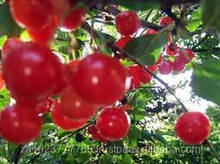 Fresh Cherries GRADE a FOR SALE HOT SALES