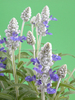 Factory Whole Sale Supply Antisweating Clary Sage Oil