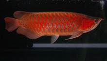 Premium Quality Super Red Arowana - Available Now