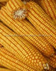 Yellow corn specification