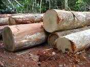 Quality Ayous logs and sawn woods for sell