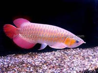 100% High Quality Golden Arowana Asian Arowana Red Arowana Fish For Sale
