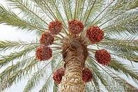 dates tunisia