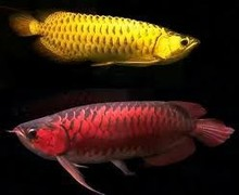 Superior quality Arowana Fish