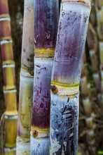Organic Plant Growth Revitalizer to increases sugar content in Sugarcane crops