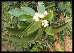 Symplocos Racemosa herbs Extract
