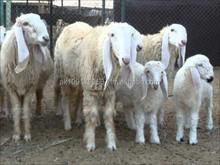 Halal Lamb Carcass