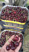 Turkish Fresh dark red Cherries