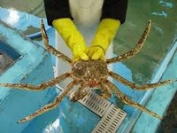 Live Norwegian Red King Crab