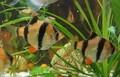 Leben ornamentalen süßwasserfische betta splendens, Acropora, angel fish, etc