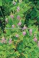 /alcaçuz raízes de alcaçuz/alcaçuz semente/pó de alcaçuz/extrato de alcaçuz/glabra glycyrhiza