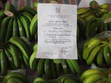 Cavendish banana in fair with VietGap Certificate / Iso 2000