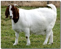 Awassi sheep and Boar Goats for sale