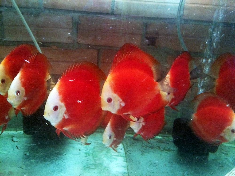 Zoetwater aquarium utah discus fish for sale utah for Live discus fish for sale