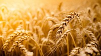 wheat grain, grade 2 harvest in 2015 and new crop