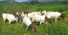 Saanen and Anglo Nubian Buck Goats for sale (high quality milk production)