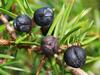 Indian Juniper berry Oil Wholesale (Juniperus communis)