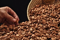 Best Quality New crop Cocoa Beans / fermented cocoa beans For Sale