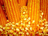 low price wholesale dried yellow maize corn