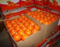 Baby Mandarin Orange / Nanfeng Orange /Fresh Mandarin Orange
