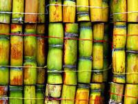 Fresh Sugar cane , Sugar cane bulk price , Sweet sugar cane . Delicious Sugarcane !!! Top Supplier !!!