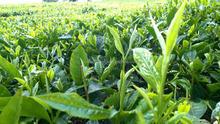 APO Green Tea 2015 Best Quality Competitive Price