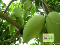 Vietnam Green mango with competitive price