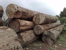 suar Logs and timber