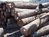 Black Walnut Saw Logs