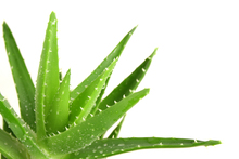 Aloe Vera natural herb with Thulasi Leave