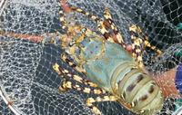 Viet Nam lobster