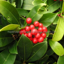 No. 1 Best Supplier for Natural & Pure Winter green essential oil at Alibaba.