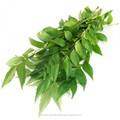 Indian Curry hojas aromático aromatizantes naturales medicinales hoja verde común cultivado