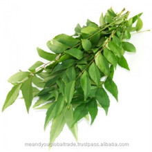 Fresh Indian Curry Leaves Aromatic Flavoring Natural Medicinal Green Leaf Common Cultivated