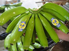 Fresh Banana from Philippines (Davao)