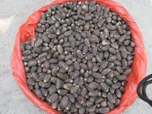 Best Quality Dry Jatropha seeds (290USD per ton FOB Mumbai)