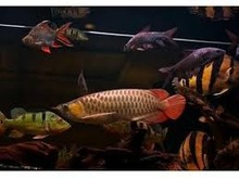 Grade A quality Arowana Fish for sell from europe