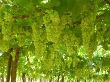 special offer for fresh grape