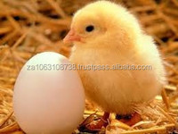 day old broiler chicks for sale